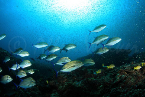Blue Fin King Fish hunting a huge school of Hardy Head Si... by Allen Walker