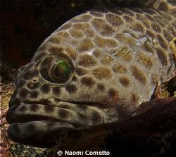 Grouper at Sail Rock by Naomi Cometto