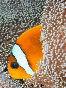 Anemone fish, Red Sea. Nikon D300, 60mm lens. by Nick Blake