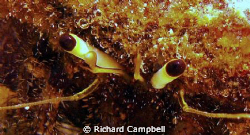 craby eyes..sealife DC1000.. by Richard Campbell
