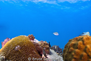 Sargent major swimming between coral heads. by Bruce Campbell