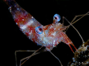 """""""Shrimp at night""""   Size = 2 cm. / 60mm Makro lens with... by Rico Besserdich"""