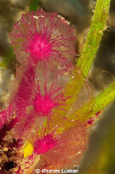 unkown flowers in Negros - does anybody know this species... by Thomas Lueken