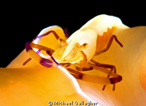 Emperor shrimp hitching a ride on the back of an orange n... by Michael Gallagher