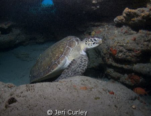 Green Sea Turtle under a ledge.  Taken with Olympus Evolt... by Jeri Curley