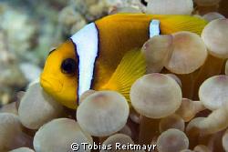 Red Sea Anemonefish, Abu Hamada, Hurghada. Canon EOS 350d... by Tobias Reitmayr