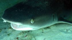 A happy White Tip Reef Shark, Ningaloo Reef by Penny Murphy