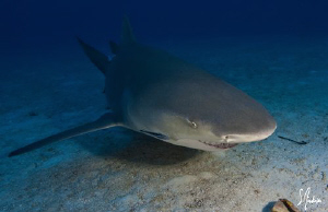 This Lemon Shark glides in for a closer look. This image ... by Steven Anderson