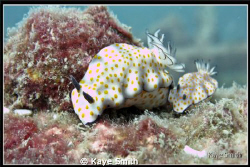 Like Father, Like Son. 2 Chormodoris Risbecia Pulchella t... by Kaye Smith