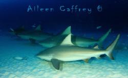 This School Rocks!  Bull Sharks by Aileen Caffrey