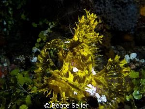 Weedy Scorpionfish (Rhinopias frondosa). 110 feet deep an... by Beate Seiler