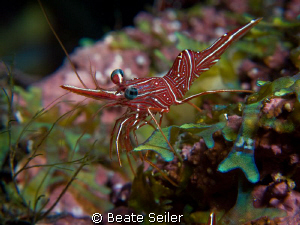 Durban Hinge-beak Shrimp, Canon G10 UCL165 by Beate Seiler