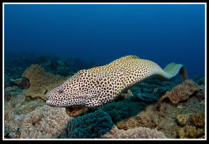 Honeycomb moray by Dray Van Beeck