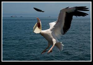 Pelican by Dray Van Beeck