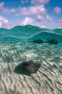 Southern Stingrays cruising over a shallow sand bar to th... by Paul Colley