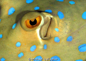 Eye contact - Blue Spotted Stingray at night - Red Sea, E... by Michael Gallagher