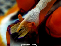 Imperial Shrimp between the horns of a Magnifica at Marbl... by Marcus Culley