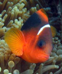 Tomato Clownfish, Ningaloo Reef by Penny Murphy