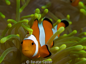 Nemos home , taken at the wonderful house reef of Alam Ba... by Beate Seiler