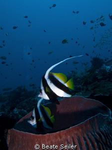 Bannerfish over a huge sponge by Beate Seiler