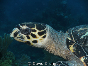 On the last dive of a recent trip to Roatan, this turtle ... by David Gilchrist