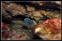 juvenile Emperor Angel fish in Richelieu Rock (Thailand) by Adriano Trapani