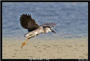 The night heron is hunting fish....:) by Ahmet Yay