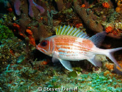 Big Eye Squirrel Fish by Steven Daniel