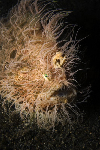 TOUSLED  Hairy Frogfish by Jörg Menge