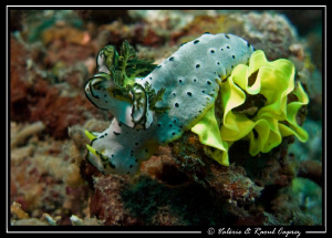 Notodoris serenae laying eggs by Raoul Caprez