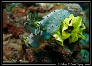 Notodoris serenae laying eggs by Raoul Caprez