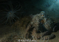 One of the playful octopus on a night dive, Sony by Rachel Parry