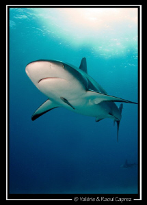 Carcharhinus perezi in the sun by Raoul Caprez