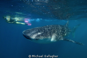 Sub-adult whale shark with snorkeller, Djibouti by Michael Gallagher