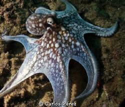 Octopus @ El Natural Beach Aguadilla PR by Carlos Pérez