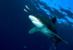 Large male longimanus taken in South red sea during a Saf... by Viora Alessio