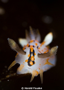 polycera quatrilineata, lovely, small animals  :) by Harald Fauske