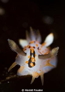 polycera quatrilineata, lovely, small animals  :) by Harald Fauske