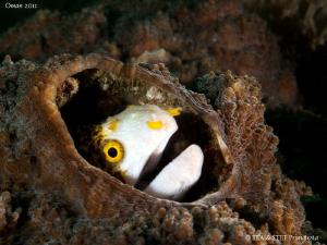 Moray eel (Echidna nebulosa) by Bea & Stef Primatesta