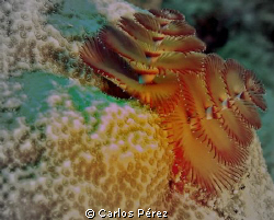Christmas Tree Worm @ Windows Reef Guanica PR by Carlos Pérez