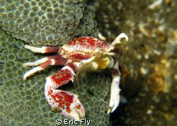 Porcelain crab trolling for a snack by Eric Fly