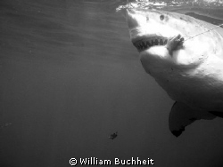 Massive female great white takes the bait at Isla Guadalupe. by William Buchheit