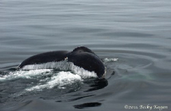 whale tail cape cod by Becky Kagan