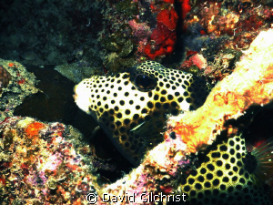 Spotted Trunkfish. Roatan-on wreck of Prince Albert, This... by David Gilchrist