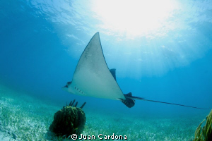 Nice peace full  Eagle Ray by Juan Cardona