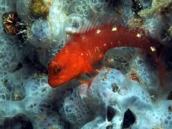 Mediterranean goby found on a blue sponge in less than 2 ... by Viora Alessio