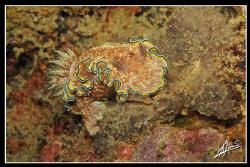 glossodoris cincta in Boonsung Wreck - Thailand by Adriano Trapani