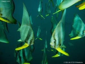 Platax (Platax teira) in the Oman's green water. by Bea & Stef Primatesta
