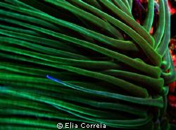 Anemone! by Elia Correia