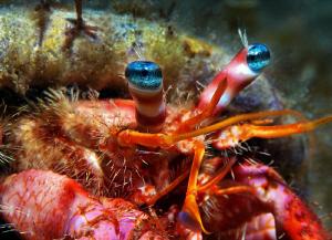 Hermid crab with beautiful eyes ;-) by Rico Besserdich